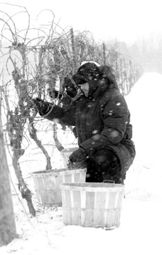 man on icewine winery